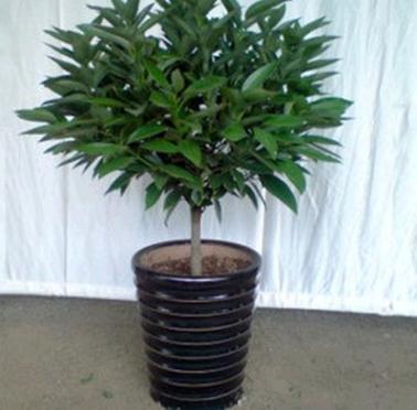 室内大型植物 平安树 幸福树盆栽 平安树 观叶植物 室内绿色