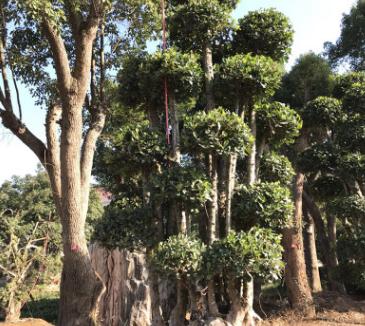 罗木石楠桩景别墅绿化,工程绿化 罗木石楠桩景 观赏树 批发