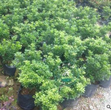 开花盆景植物 米兰花 室内客厅绿植盆栽 驱蚊子 四季常青花卉苗