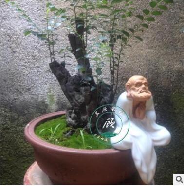 花卉盆景室内盆栽小叶紫檀黑骨茶熟树桩绿植室内观径观叶植物客厅
