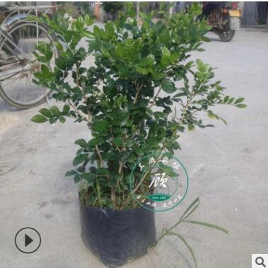 盆栽植物九里香 九里香大苗 七里香树桩盆景绿化苗木庭院绿植