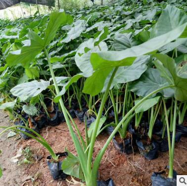 基地供应海芋 滴水观音绿色观叶 欢迎来电咨询种类繁多 批发海芋