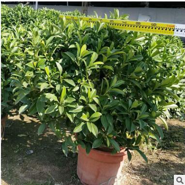 非洲茉莉球批发 绿化工程苗木 高120x120冠