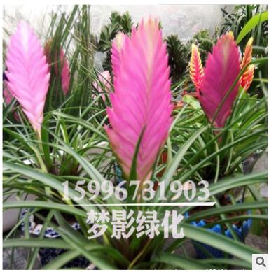 批发室内小盆景 铁线兰凤梨桌面盆栽紫凤梨 吸甲醛净化空气