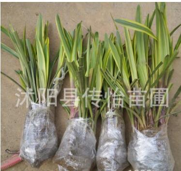 优质金边麦冬草苗 地被草花苗自产自销极耐寒耐旱 麦冬草四季常绿