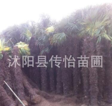 批发供应绿化苗 棕榈树苗 大型绿化苗 园林绿化