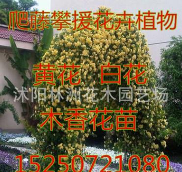 攀缘 爬藤植物花卉 七里香 十里香 蔷薇 黄白木香花苗 香味最浓