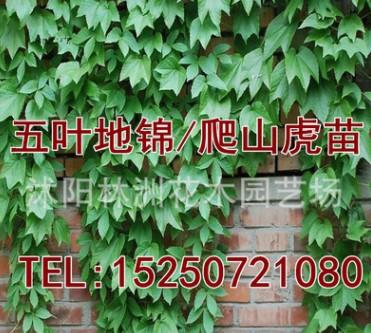 攀援植物 美国地锦 五叶地锦 爬山虎苗 爬藤植物 爬墙高手