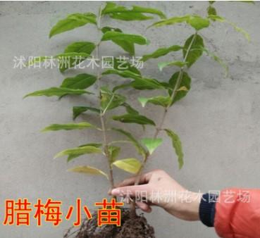 腊梅树苗 观赏花卉 素心腊梅花苗 腊梅小苗另有大量腊梅盆景出售