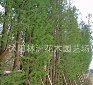 江苏苗木基地供应落羽杉绿化小苗 工程绿化苗木 规格齐全量大优惠