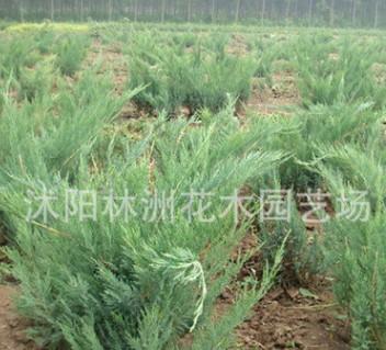 绿化苗木 沙地柏苗 铺地柏苗 四季常青苗木 易存活 价格低 好管理