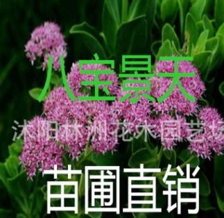 大量供应宿根花卉 盆栽地被 八宝景天 三七景天 福禄考 种苗