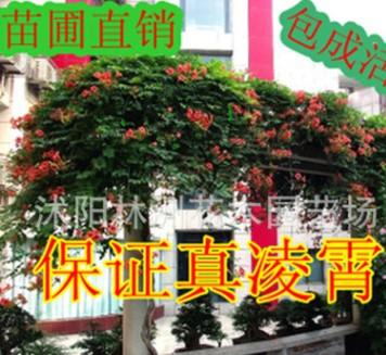美国凌霄花苗-凌霄大苗-阳台庭院绿化攀缘--生长速度快
