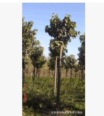 基地梓树供应批发 梓树价格 佳和绿洲苗圃数量多规格全