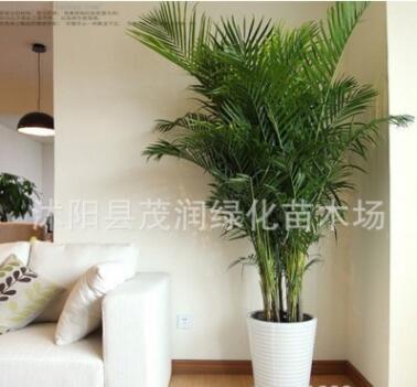 高档观叶植物室内大型绿植 散尾葵盆栽客厅办公室凤尾竹净化空气