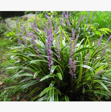苗木基地大量出售地被植物 新型观叶花卉金边麦冬 麦冬草苗