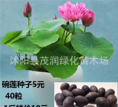 碗莲种子观赏水生盆栽植物花卉种子迷你碗莲种子荷花种子18元1斤