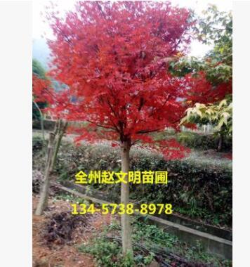 日本红枫 批发 园林绿化木 红枫嫁接树 红枫