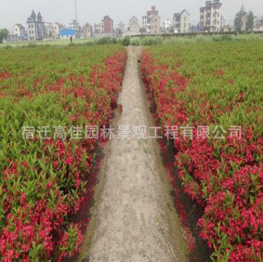 基地直销红王子锦带苗 工程用苗 红王子锦带 绿化苗木常绿灌