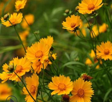 大花金鸡菊 草本花卉种子 金鸡菊种子 观赏植物 园艺花卉 易种植