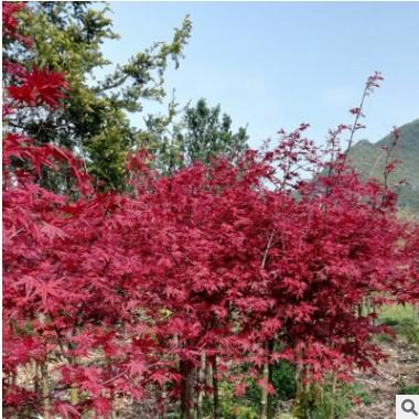 红枫树日本红枫中国四季红枫庭院工程绿化红舞姬盆栽地栽风景树