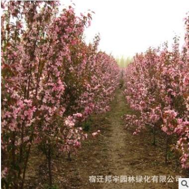 苗圃木瓜海棠树苗直销 园林绿化种植行道苗 木瓜海棠批发