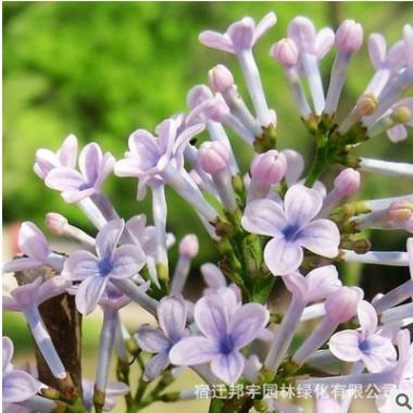发紫白粉蓝丁香花苗 庭院/盆栽 可开花植物丁香花树苗 浓香花卉