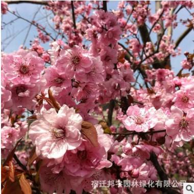 美人梅树苗批发供应工程绿化苗木庭院园林绿植花卉美人梅规格全
