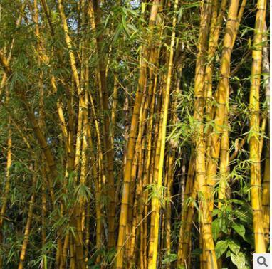 批发竹子 竹子苗黄金竹基地直销竹子树金镶玉竹规格多价格低