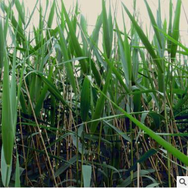 基地直销优质水生植物 芦苇苗 净化水质 水生芦苇花卉