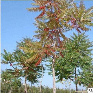 供应各种苗木 种苗 基地直销 优质 火炬树树苗