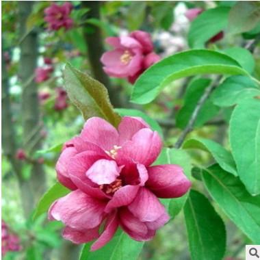 供应灌木 乔木榆叶梅、大小规格全,带土球 垂梅