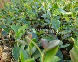 安徽油茶树苗