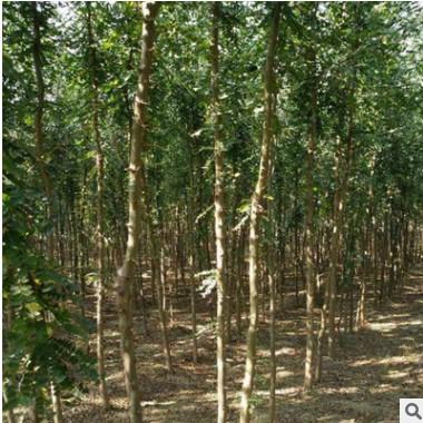 供应大量皂荚树苗 种子 厂家直销