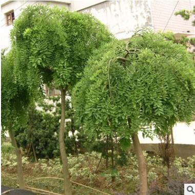 供应各种苗木 种苗 基地直销 优质 龙爪槐树苗 也叫垂槐 规格齐全