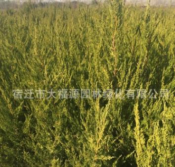 大量供应桧柏苗 蜀侩苗 绿化工程苗木批发柏树
