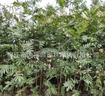 供应各种工程苗木 花卉 基地直销 优质 枫杨