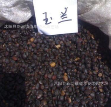 批发林木种子 紫白玉兰种子价格 种类齐全 量大优惠 观花乔木