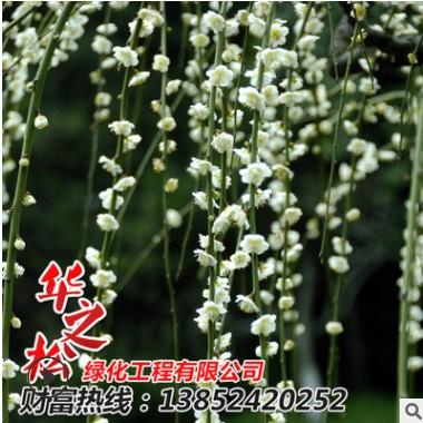 供应梅花苗 垂梅 园林绿化 红花垂梅风景树 倒着长梅花 庭院植物