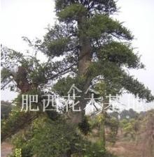 造型榔榆树