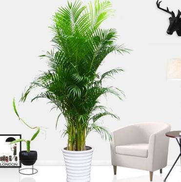 散尾葵凤尾竹室内客厅大型绿植盆栽夏威夷开业盆景室内植物除甲醛