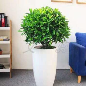 网红推荐办公室客厅非洲茉莉花大型盆栽四季常青净化空气改善睡眠