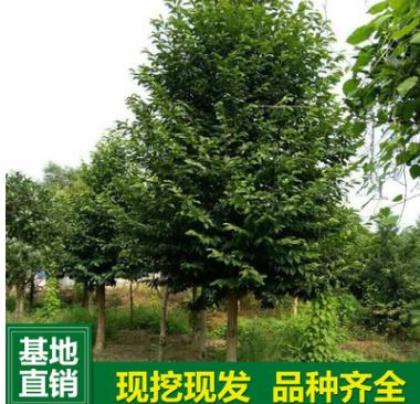 基地直销含笑树 批发行道树2-20公分乐昌含笑树苗 风景树大量供应