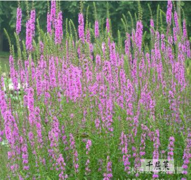 专供水生花卉 千屈菜500亩水生植物基地批发鸢尾 菖蒲 水葱