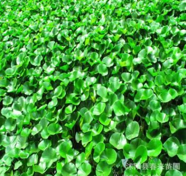 600万株水生植物批售水浮莲 水葫芦 水生鸢尾 水生美人蕉 香蒲
