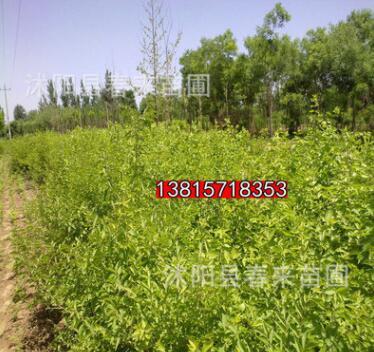 基地直销优质金银木 绿化灌木 规格齐全货源充足