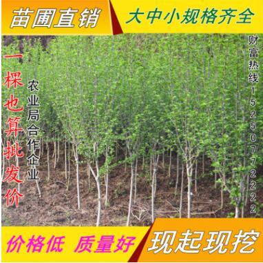 批发园林绿化工程苗木 木槿 丛生木槿 木槿价格 庭院植物当年开花