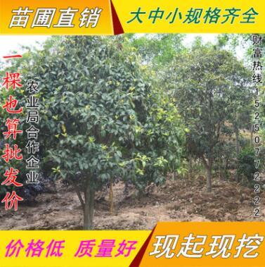 金桂桂花苗直销 保证品种 庭院绿化工程用苗 金桂地栽树苗
