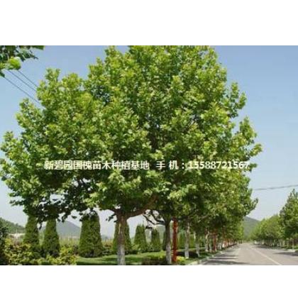 韶关皂角大树