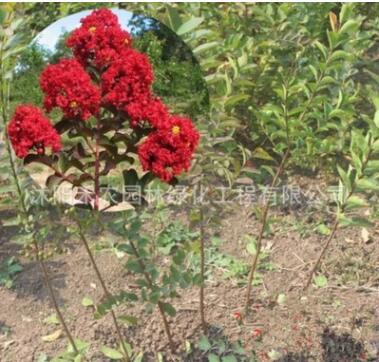 绿化工程苗木 百日红 美国红火箭紫薇树苗 批发速生紫薇小苗